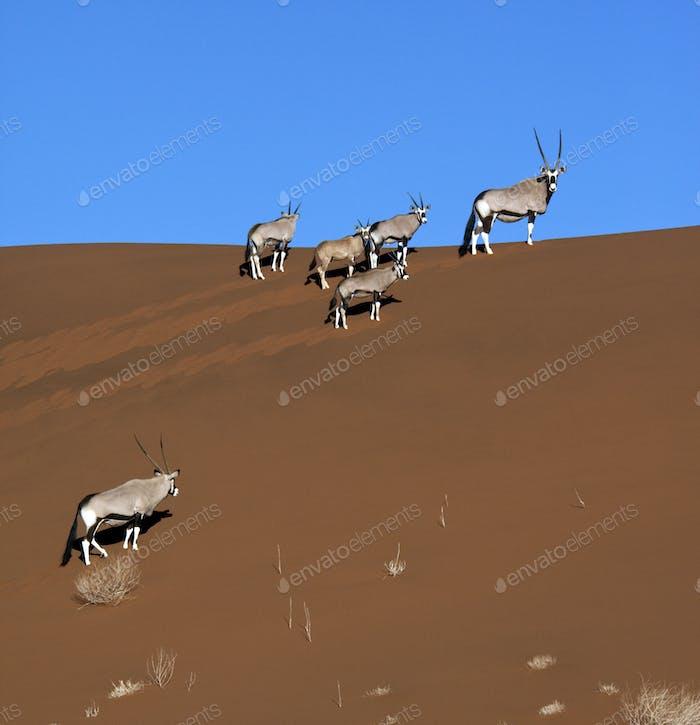 A group of Gemsbok (Oryx) in the Namib-nuakluft desert near Sossusvlei in Namibia.