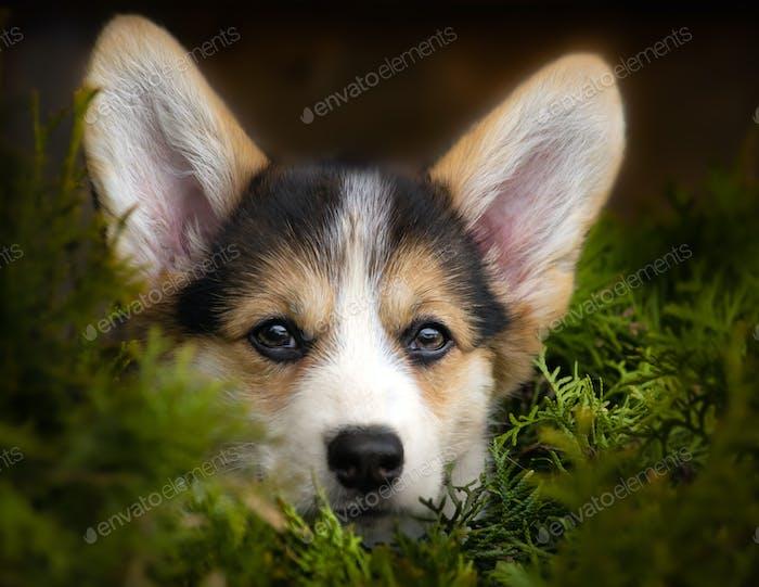 A corgi pembroke puppy