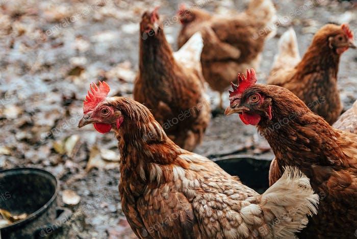 Closeup of domestic chicken, hen, poultry, animal, domestic animals, farm animals.