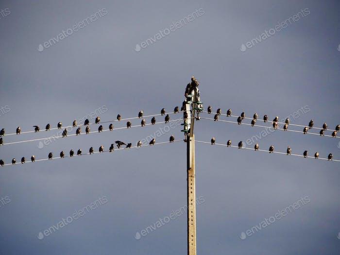 Vogelschwarm, die auf einem elektrischen Draht sitzen