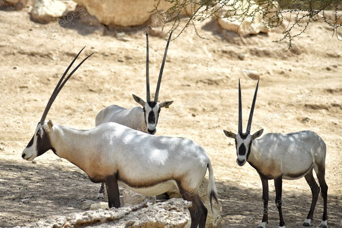 Endangered species regenerating in captivity. Arabian Oryx
