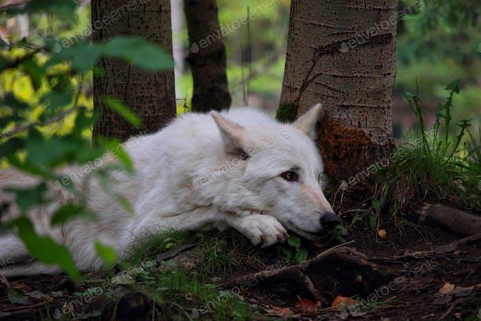 Wolf in Seattle