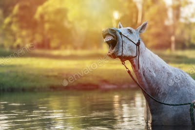 A horse in water neighing