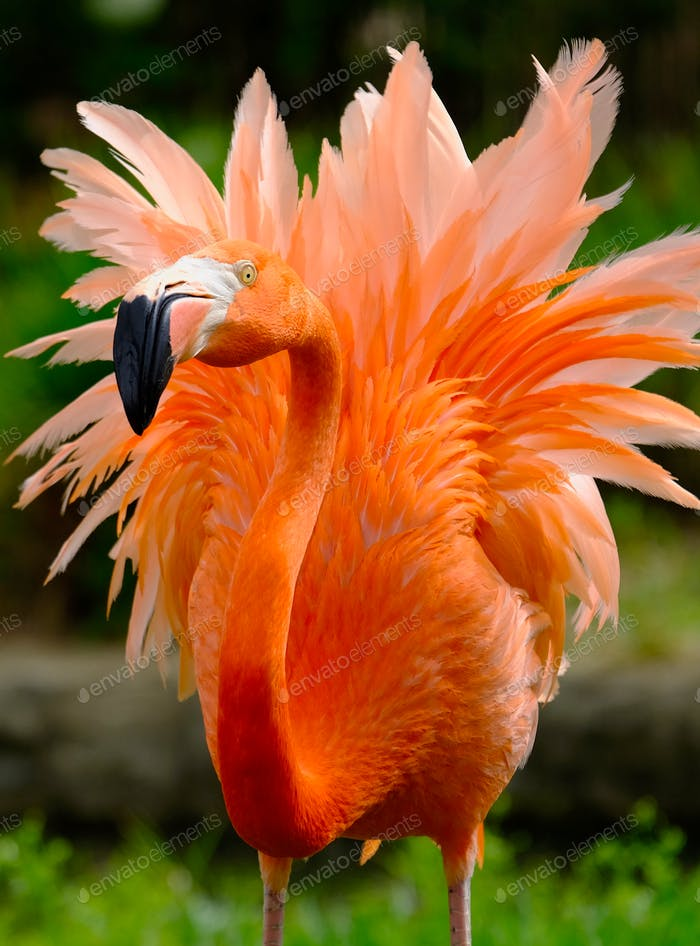 Wondrous flamingo with plumes of feathers in orange and pink hues in defensive posture