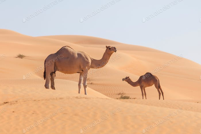 Camels in the desert in Emirates