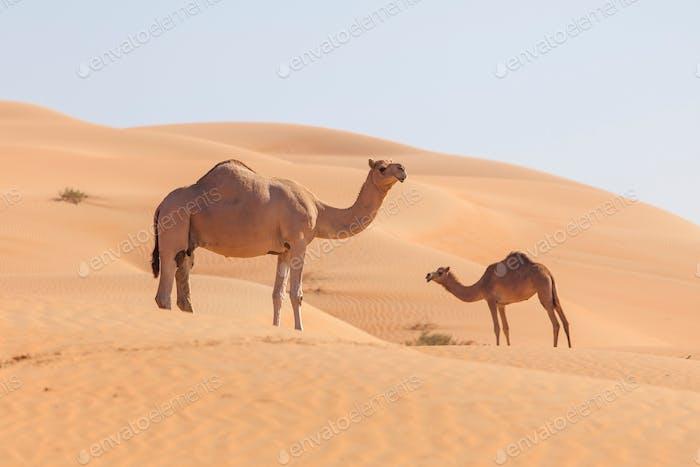 Kamele in der Wüste in Emirates 🐫 🐫