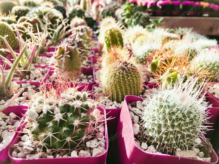 Sunshine pouring down on assorted green cacti and succulents arranged in pink plastic containers.