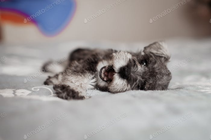 miniature schnauzer puppy lying on the bed