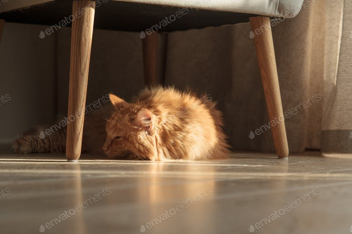 Senior cat napping on wooden floor in brightly lit living room Nordic furniture. Cozy vibes