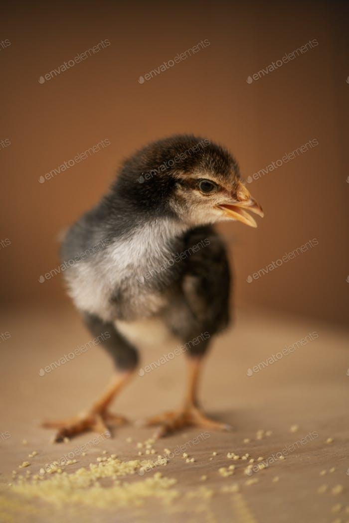 little black chicken