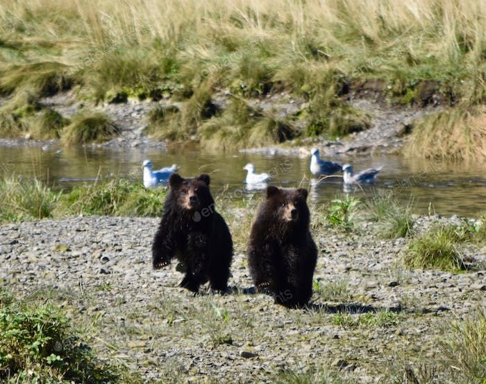 Baby grizzly bear cubs confused about Momma being missing