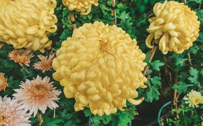 Chrysanthemum Blume