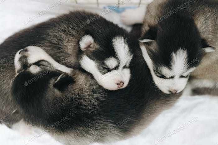 Three little puppies are sleeping near each other