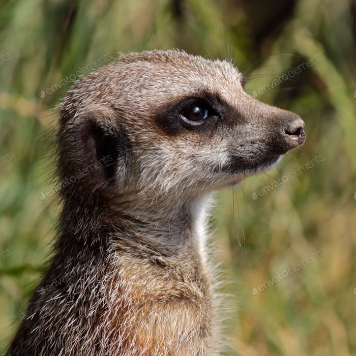 Thoughtful Meerkat!