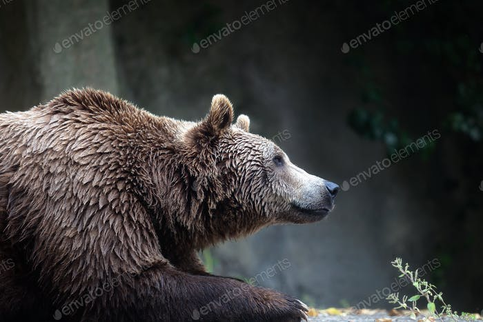 Brown bear, captive. A brown bear male specimen, taken out of profile. Bear lying down, half bust.