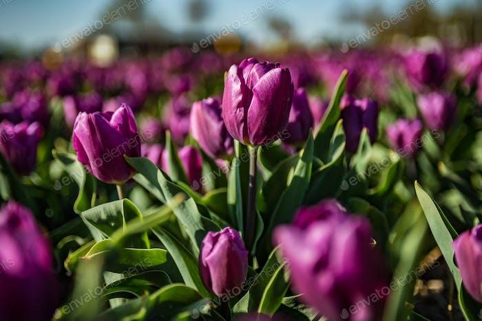Purple tulips, field of flowers
