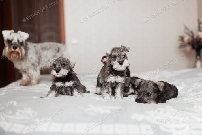 cute miniature schnauzer puppies of different colors at home