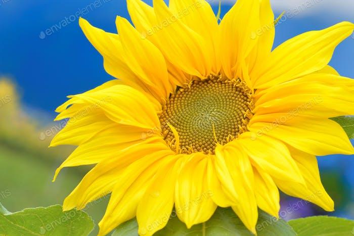 Flor del sol en el campo