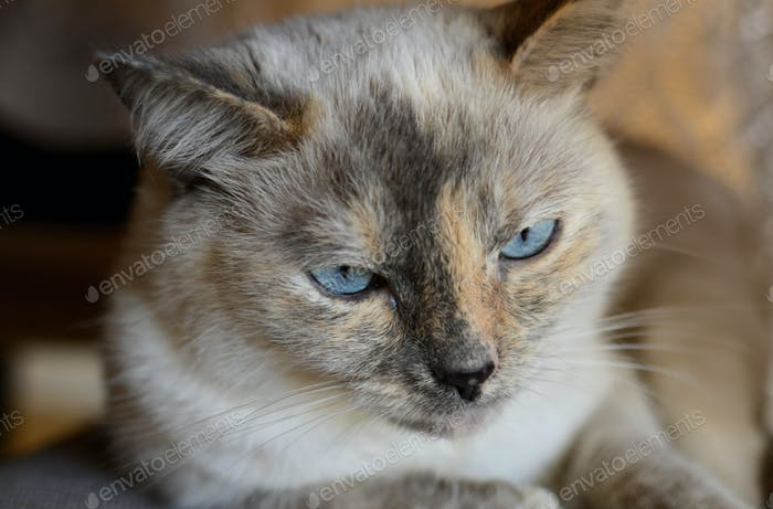A beautiful blue-eyed Siamese mix cat feline kitty kitten with neutral tones fur