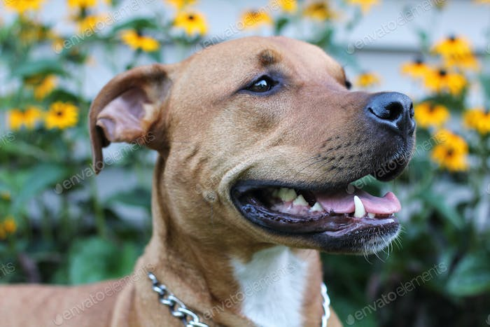 Bella the pit bull mix smiling in the summertime, black eyed susan flowers in the background