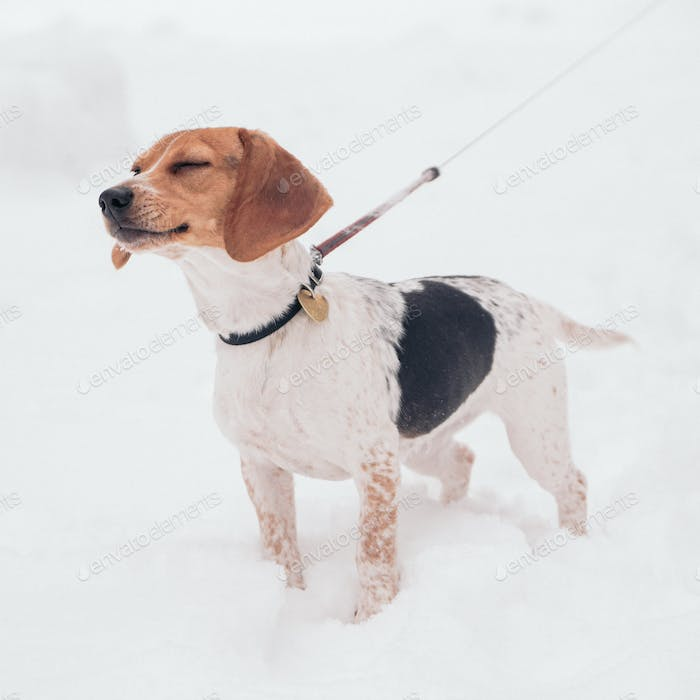 Penny the Beagle in the snow.