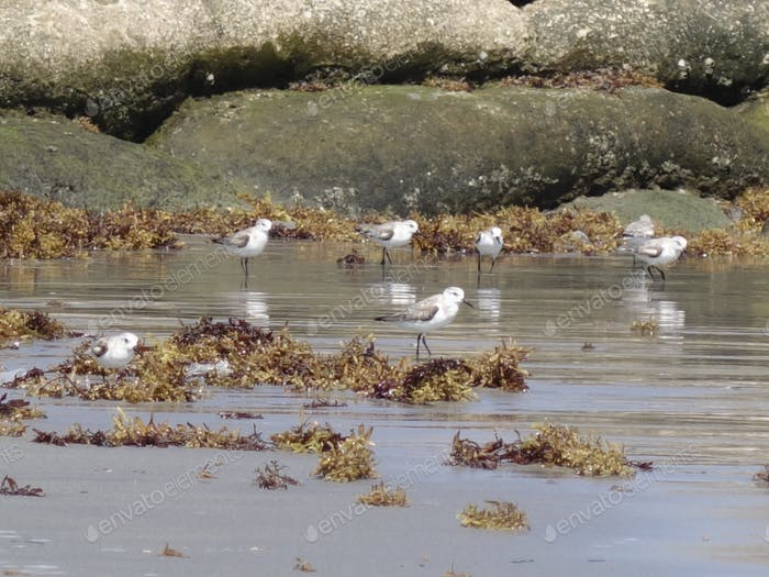 A Flock Sandpipers On The Shore