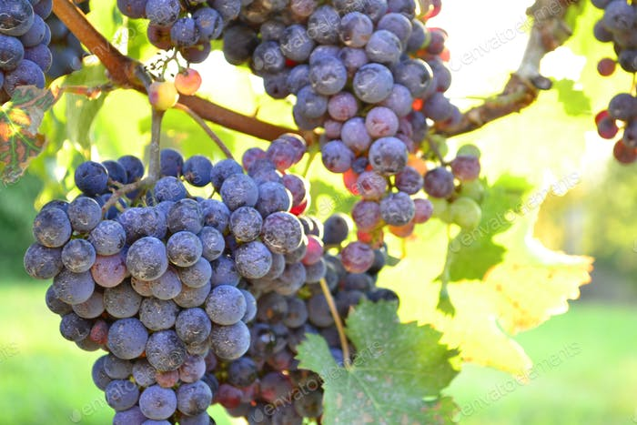Purple grapes in the sunlight -  almost ready for harvest - purple