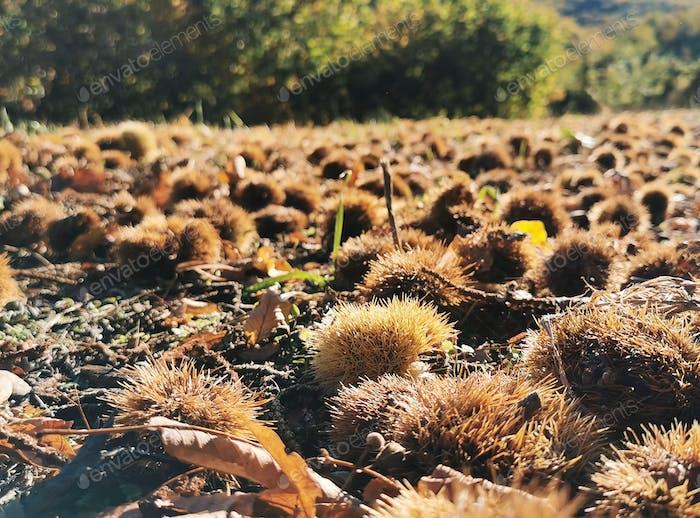 Ground full of chestnut husks, husk, chestnuts, autumn, fall, nature, background.