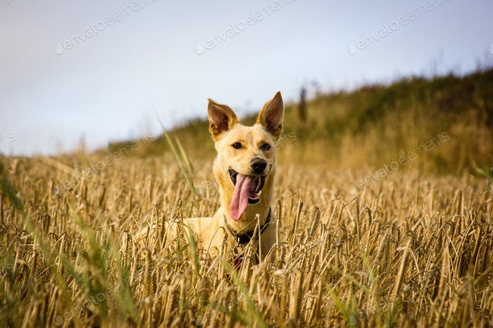 Dog in barley field
