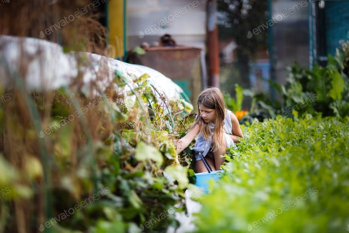 caucasian girl child with a bucket harvests cucumbers from the garden in the garden