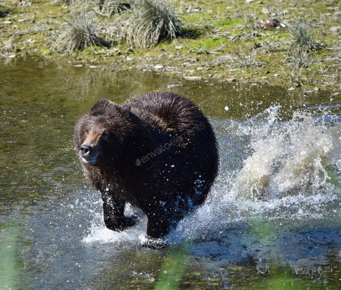 Beautiful fabulous Alaska grizzly bear splashing water as she runs towards us on Admiralty Island