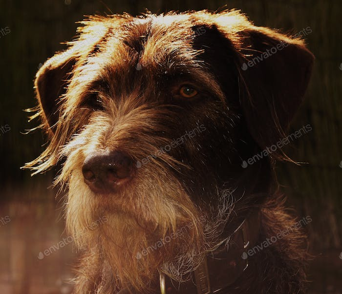 Portrait of a brown German whirehaired pointer dog in the sunlight