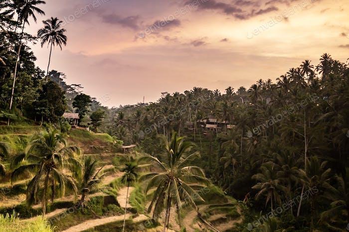 Luz del atardecer sobre el arrozal
