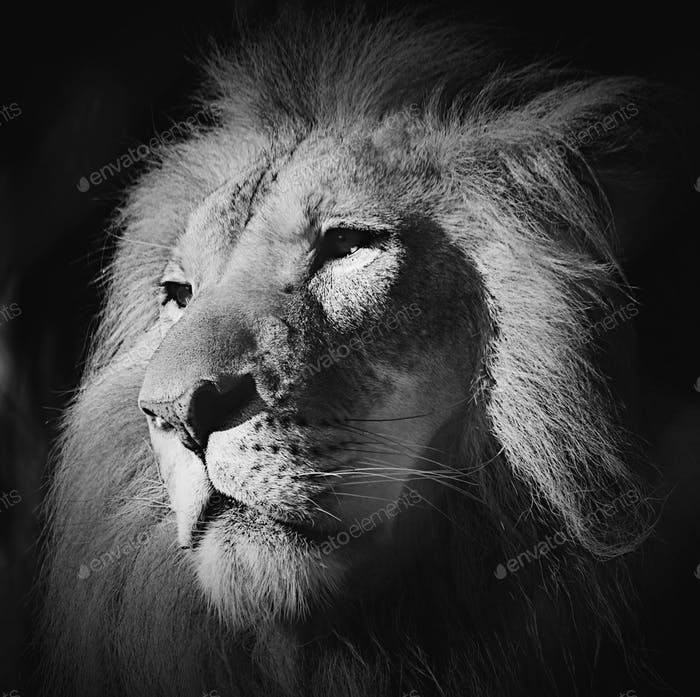 Black and white lion profile using VSCO edit