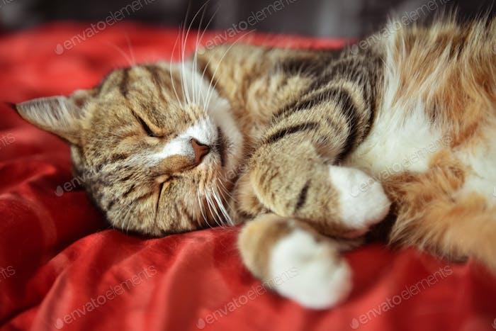 striped, tabby, striated, stripy, streaky, barred, pussycat, dormant, asleep, sleeper, nose