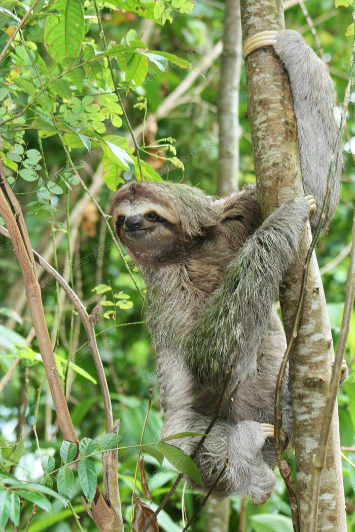 An adorable sloth in a tree hanging on to a beach in Costa Rica