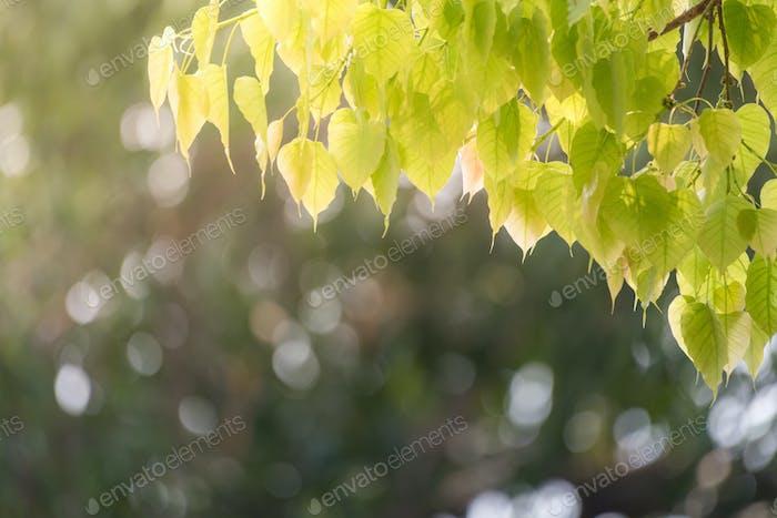 Árbol Bodhi, Árbol budista, Árbol de hoja verde expuesto a la luz del sol