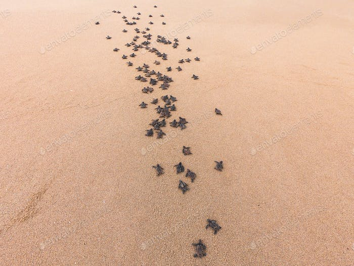 Loggerhead turtle hatchlings making their way to the ocean from their home nest.