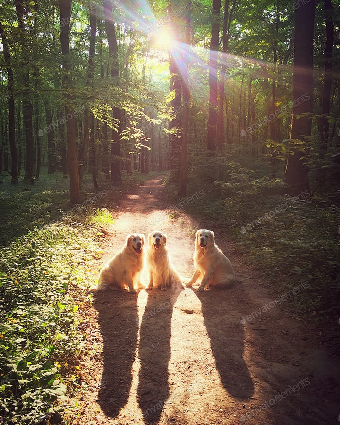 Three golden retrievers at golden hour in the forest. NOMINATED