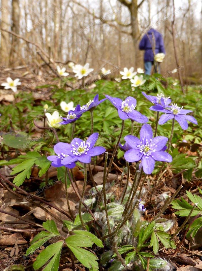 Hepatitis und Anemonen in der Blüte
