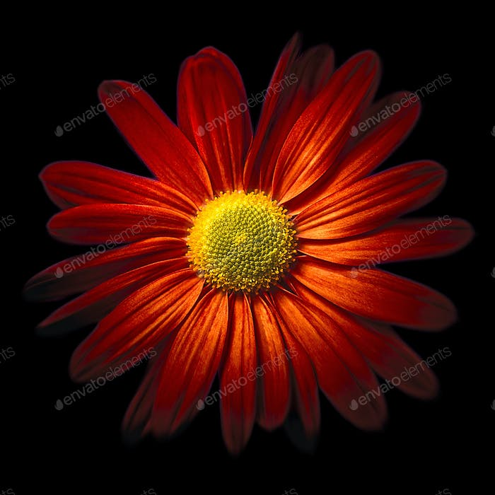 RED CHRYSANTHEME Hello and thank you for liking my red chrysantheme