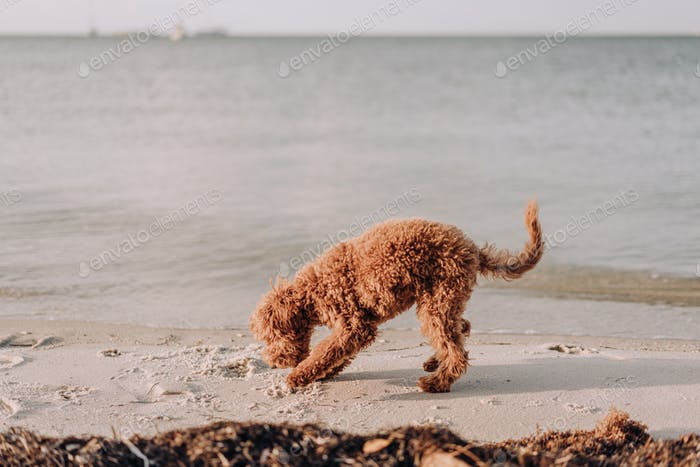 Furry puppy dog playing in the sand