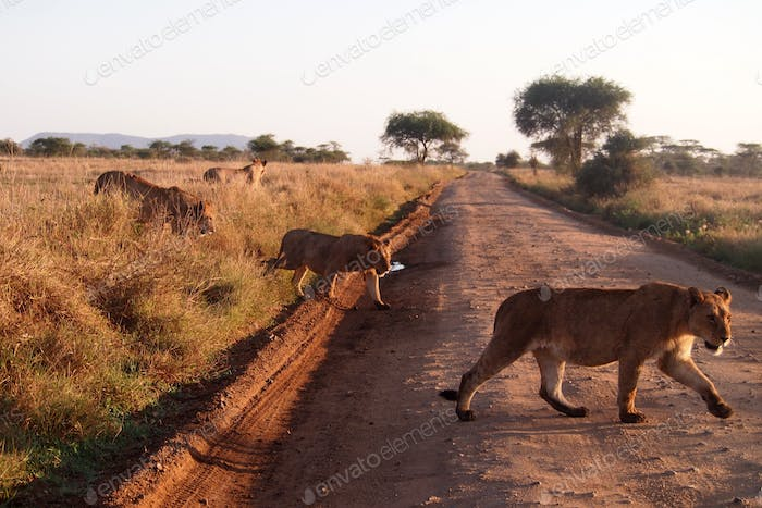 Wild lions in Africa!