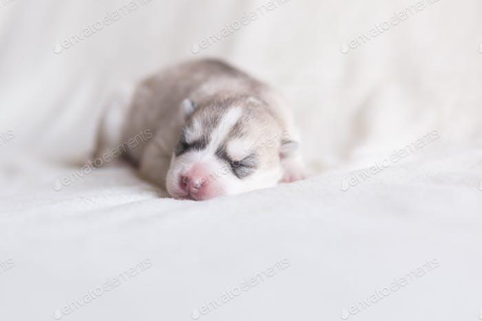 schlafender neugeborener Welpe der Husky Rasse der silbernen Farbe liegt auf einem neutralen Hintergrund mit geschlossenen Augen