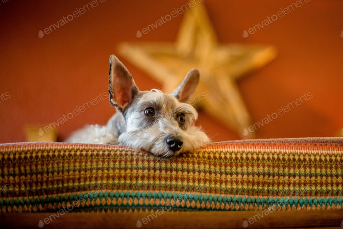 Schnauzer puppy laying down on a bed