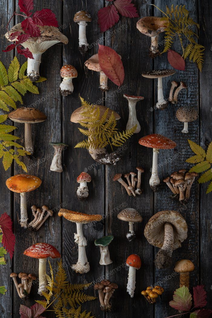 Autumn stylized Botanical composition. Composition of toadstools, boletus, honeydew and autumn leave