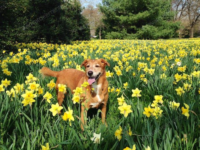 Daffodil Dog