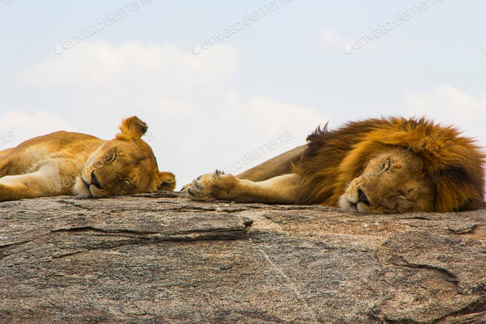Lions sleeping on the top of a rock, africa, african, alert, animal, big five, carnivore, conservati