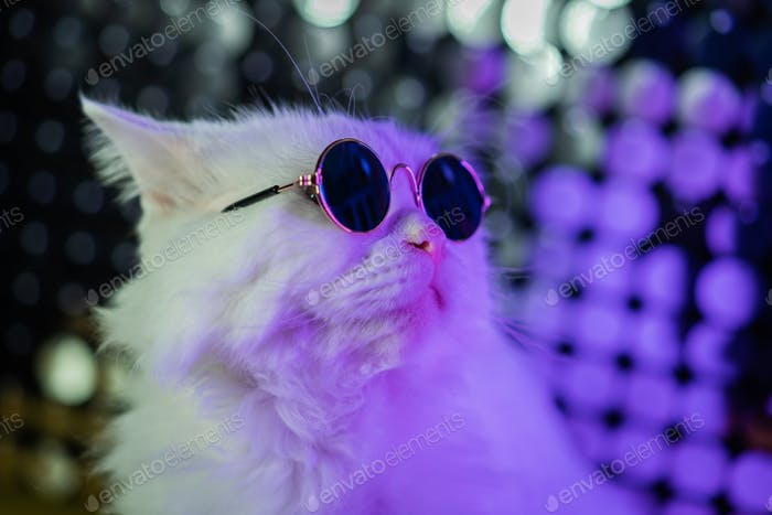 Luxurious domestic kitty in glasses poses on purple background.Portrait of white furry cat in fashio