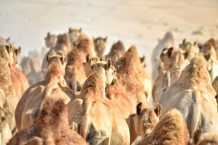 Large herd of livestock camels migrating together across a hot, dusty, arid wide open desert.